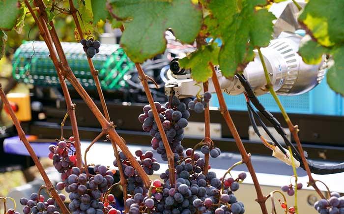 ロボットアームでブドウを収穫する様子。